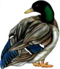 CUSTOM DUCK DECALS and DUCK STICKERS