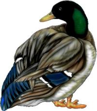 Duck Decal / Sticker 02